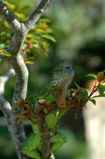 iguana chillin' in a tree