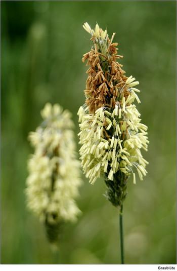 A flower that produces a pollen that's a common allergen.