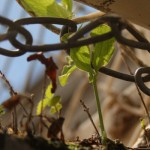 A pea plant grows despite numerous obstacles trying to hold it back
