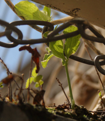 Inspiration for overcoming fear: a pea plant grows despite numerous obstacles trying to hold it back