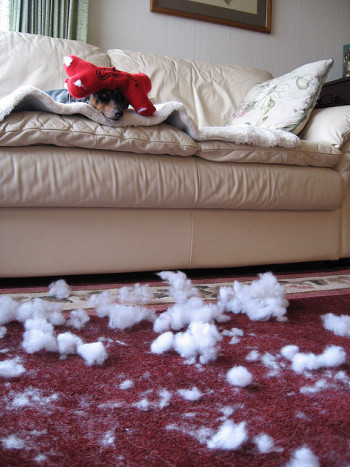 A dog feels the letdown after tearing all the stuffing out of a new toy.